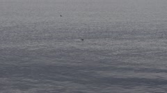 Seals in the sea with gentle swell Stock Footage