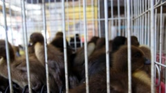 Black Gosling and Ducklings for Sale in Cage Stock Footage