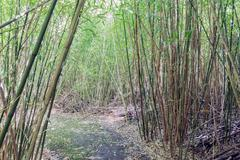 Stock Photo of Hiking trail through a bamboo forrest at Dutch plantation