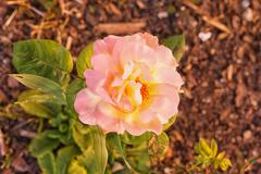 Variegated pink and yellow rose - stock photo