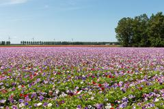Dutch field with purple blooming anemones - stock photo
