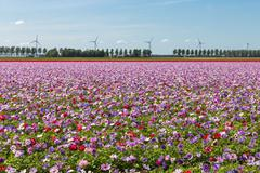 Dutch field with purple blooming anemones Stock Photos