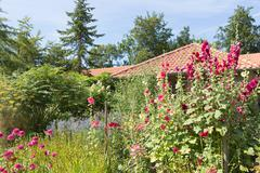 Dutch garden with colorful blooming hollyhocks Stock Photos