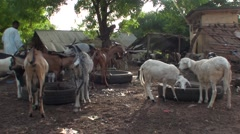Breeders of goats in senegal Stock Footage