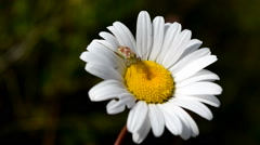 Sheild Bug on Large Daisy Stock Footage