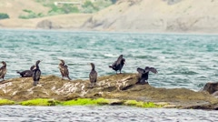 Shags In The Sea Stock Footage