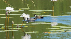 Green pygmy geese Stock Footage