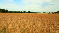 Ripe wheat (spelt). Stock Footage