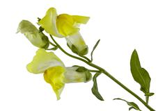 Flowers of snapdragon, lat.Antirrhinum, isolated on white background - stock photo