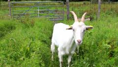White goat eating grass Stock Footage