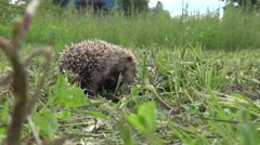 Hedgehog sleeps in a ball and then turns and walks away through Stock Footage