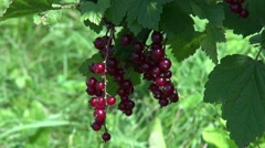 The crops branch of red currants on the Bush Stock Footage