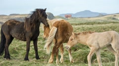 Icelandic horses with lively foal - stock footage