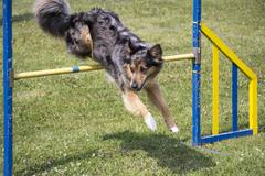Dog Agility jumping - stock photo