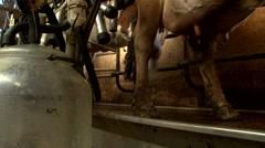 Milking machine in cowfarm milk making Stock Footage