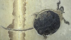 Fossil turtle Stock Footage
