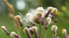 Thistle with fluffy white hat - stock footage