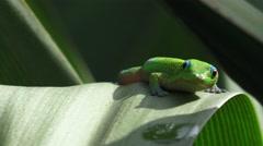 Agressive geckos, blue eyes Stock Footage