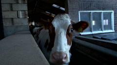 milking machine in cowfarm milk making - stock footage