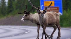 Stock Video Footage of reindeer in swedish lapland