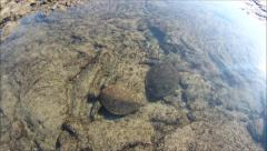 Green Sea Turtles Eating Stock Footage