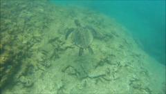 Lowfin Chub Photobombs Green Sea Turtle Stock Footage