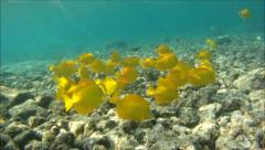 Yellow Tang & Eyestripe Surgeonfish Stock Footage