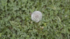 Blowball on grass in wind Stock Footage
