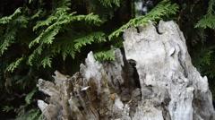 Stub and thuja tree - stock footage