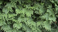 Green Hedge of Thuja Trees Stock Footage
