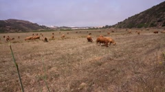 Limousin cattle grazing Stock Footage