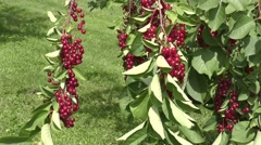 Bird cherry Red sways in the wind Stock Footage