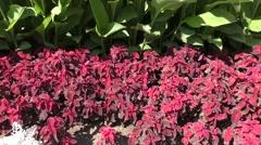 Dark purple Coleus sways in the wind Stock Footage