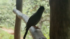 Seychelles bulbul in tropical jungle. Stock Footage