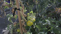 Home grown tomato garden bed Stock Footage