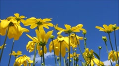 Yellow daisy with some bees and blue sky background Stock Footage