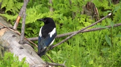 Magpie - pica pica - in a swedish forest  Stock Footage