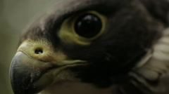 Peregrine falcon - stock footage