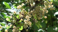The harvest of white currants in the garden on the Bush Stock Footage