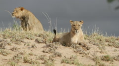 Pair of African lions on a sand dune, Kalahari desert, South Africa Stock Footage