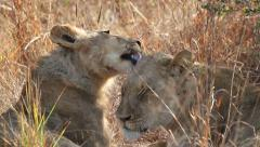 African lion interaction, wildlife, South Africa - stock footage