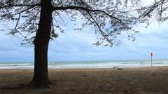 pine tree on sea beach in rainy season - stock footage