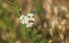 Striped bug collects nectar on the white field flowers - stock photo