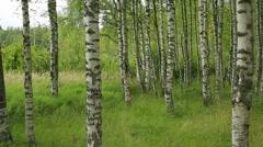 Russian landscape, birch forest Stock Footage