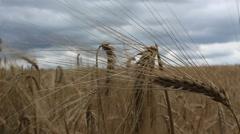 Ears of wheat, golden farm seeds, landscape Stock Footage