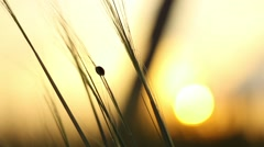 Ladybird Crawls Through the Grass at Sunset Stock Footage