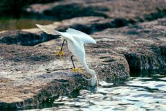 Snowy egret - stock photo
