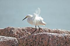 Snowy egret Stock Photos