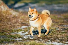 Beautiful Red Shiba Inu Puppy Dog Staying Outdoor In Spring - stock photo