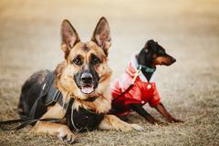 Brown German Sheepdog And Black Miniature Pinscher  Pincher Layi - stock photo